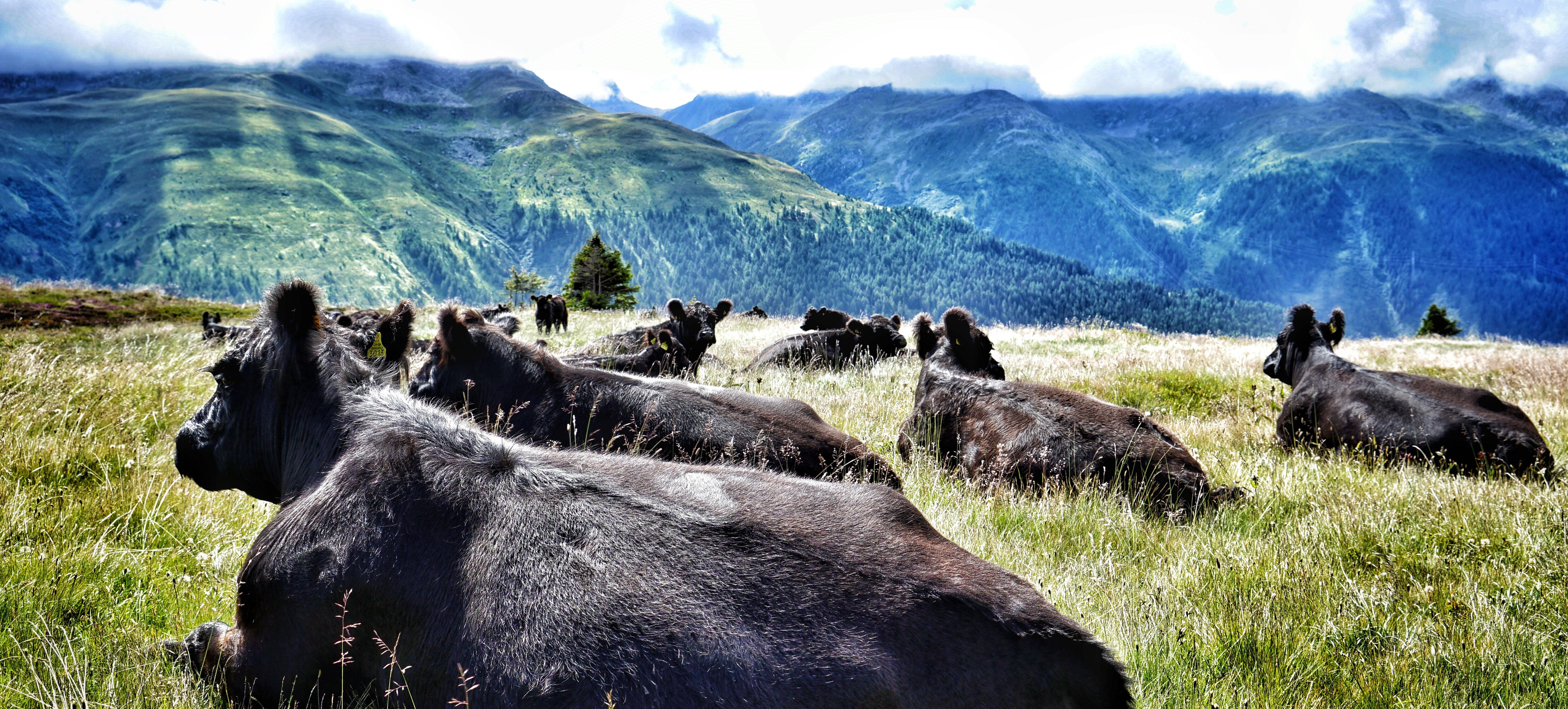 Den Sommer verbringen die Galloway-Rinder auf der Alpe Grimsel.