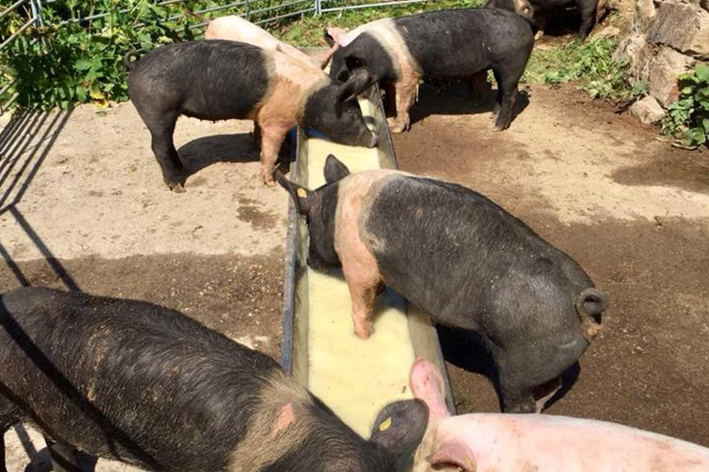 Der Hofmetzger Bio-Alpschweine
